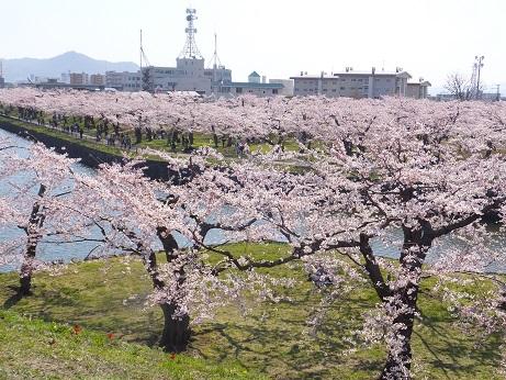 五稜郭の桜1