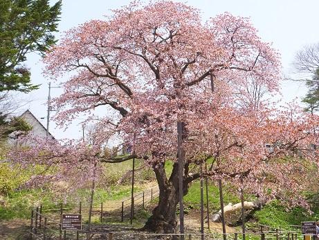 5日の桜1
