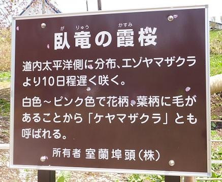 5日の桜3