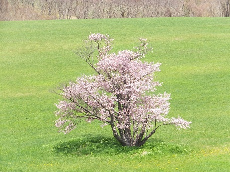 5日の桜5