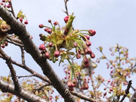 祝津の桜1
