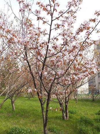 祝津の桜2