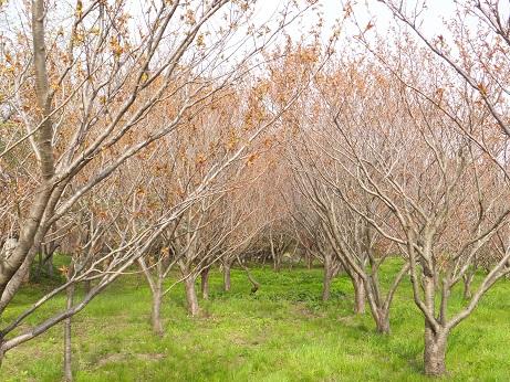 祝津の桜4