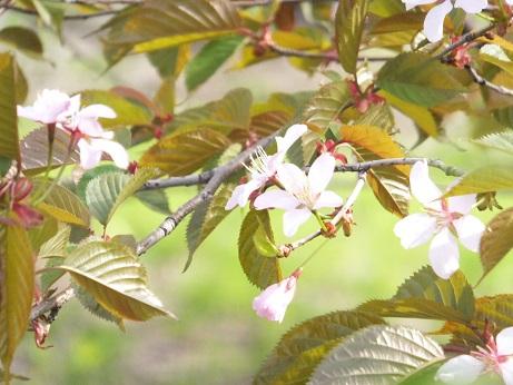 祝津の桜5