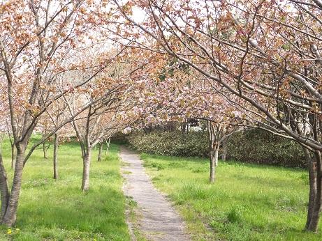 祝津の桜6