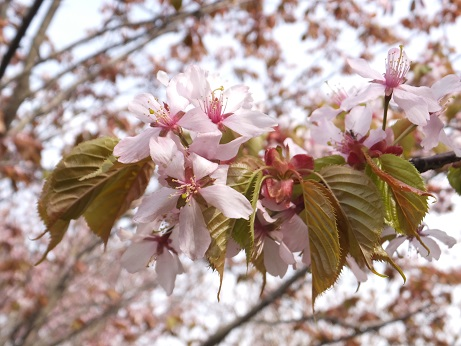 祝津の桜7