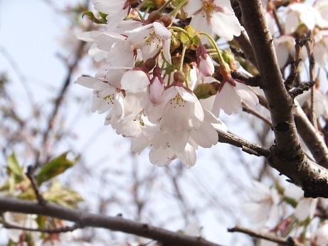 祝津の桜8