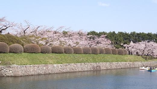 五稜郭の桜4