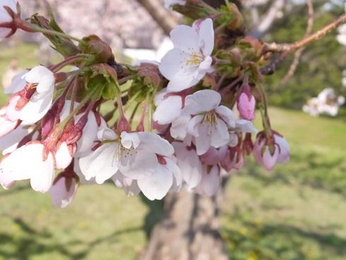 五稜郭の桜6