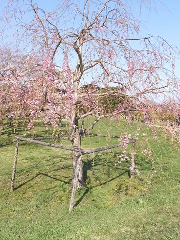 五稜郭の桜7