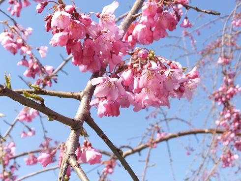 五稜郭の桜8