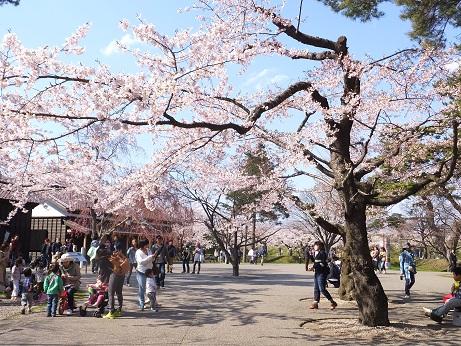 五稜郭の桜9