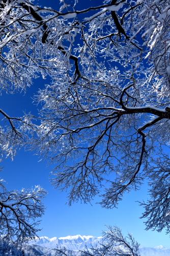 桜と中央アルプス雪景色