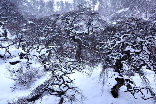 降雪のしだれ栗