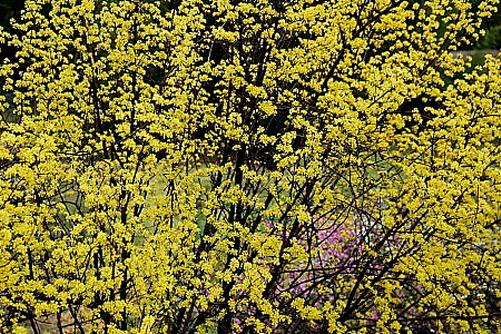 DSC_3276 山椒の花満開
