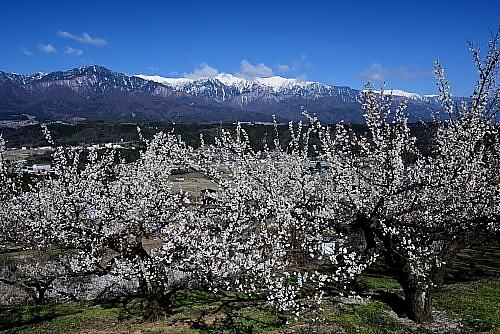 DSC_3507・花咲く梅園と中央アルプス