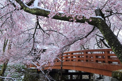 桜雲橋を囲む雪を被った桜花