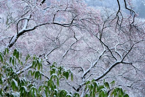 雪をまとった桜花と熊笹