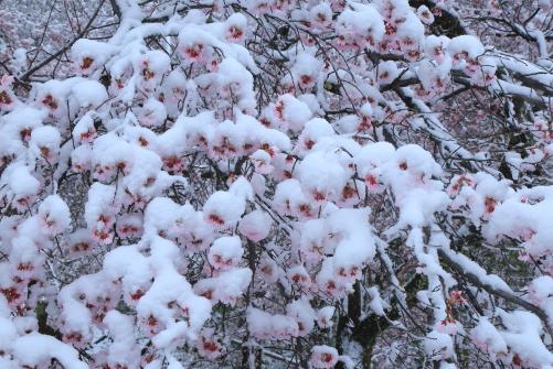 雪帽子まとう桜