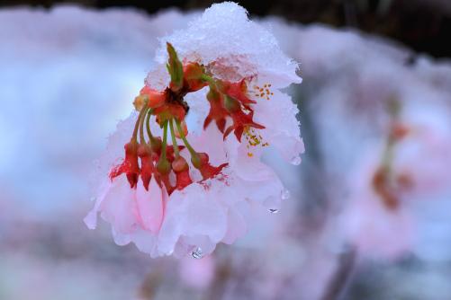 冠雪の桜に水滴の映える