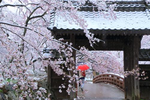 問屋門を彩る桜と雪