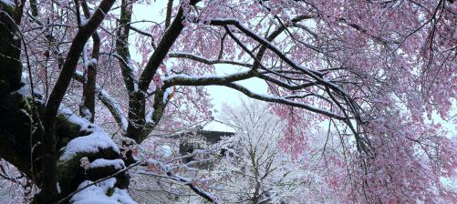 太鼓櫓を囲む桜花の雪景色