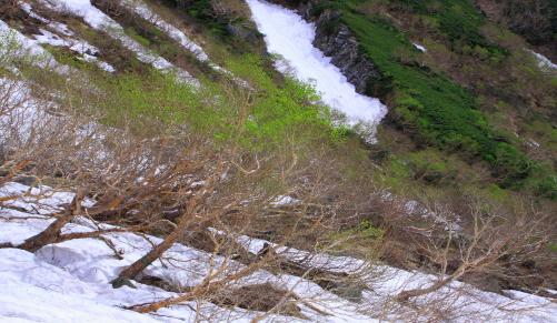 森林限界の芽吹くダケカンバ