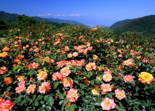 バラの花咲く「高遠しんわの丘ローズガーデン」と残雪の峰