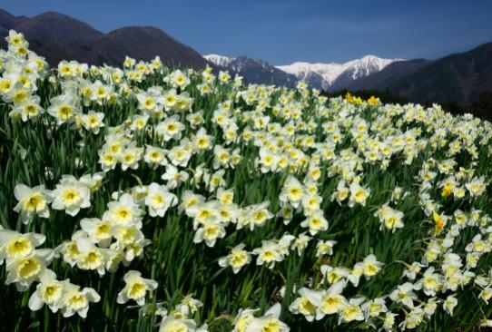 水仙の群落と宝剣岳