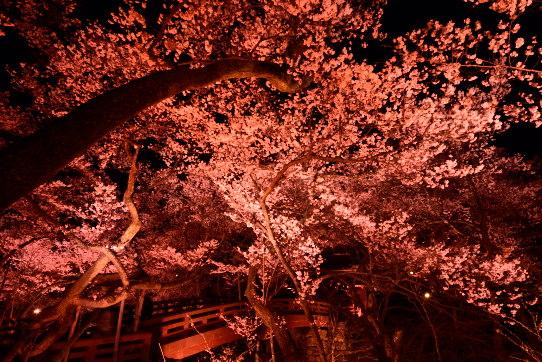 桜咲く高遠城址公園夜景