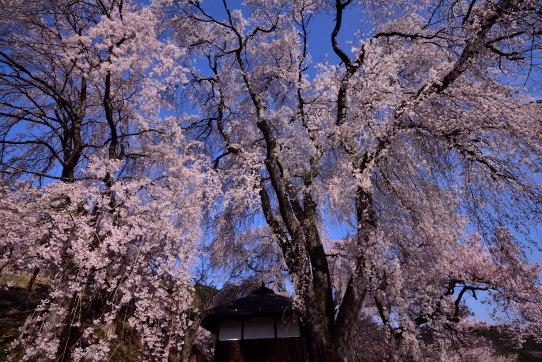 高遠町勝間の枝垂桜