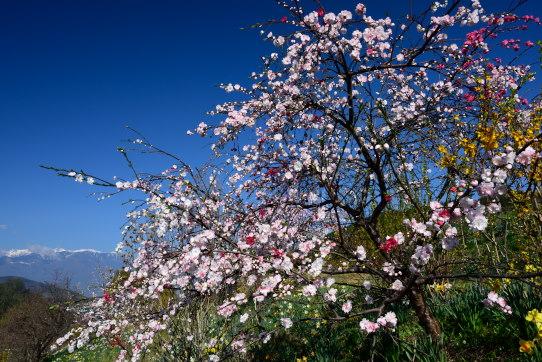 花桃と西駒ヶ岳