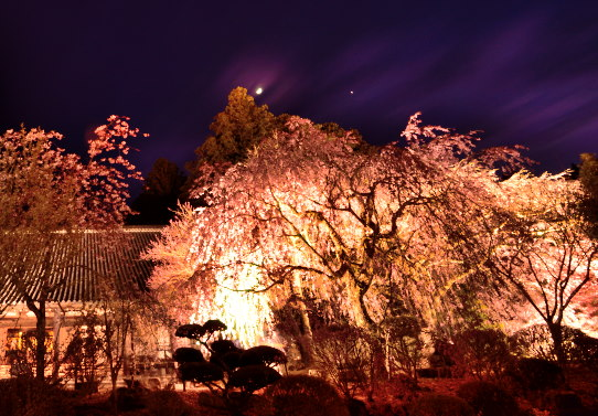 光前寺の枝垂桜夜景