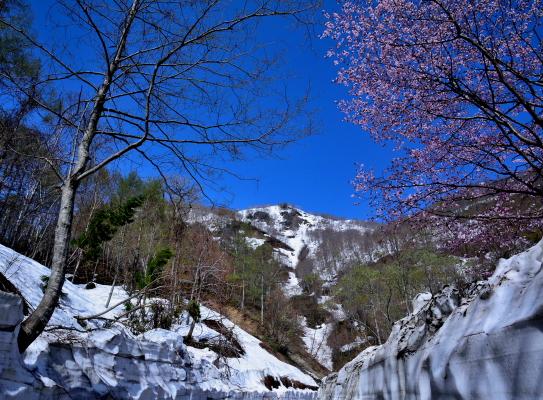 残雪に映える若葉と桜