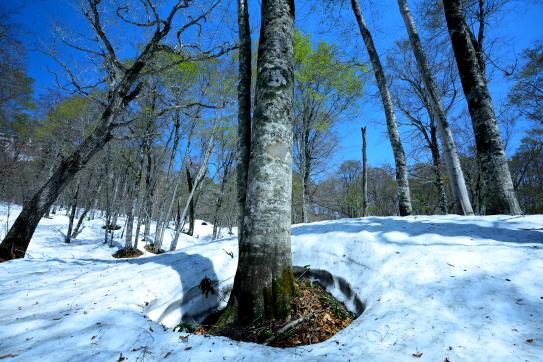 残雪に新緑まとうブナ林