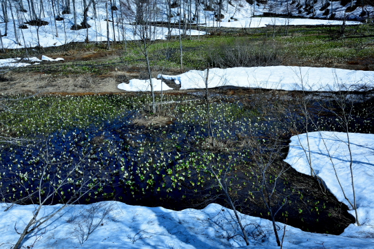 今池湿原東方に咲く水芭蕉と残雪