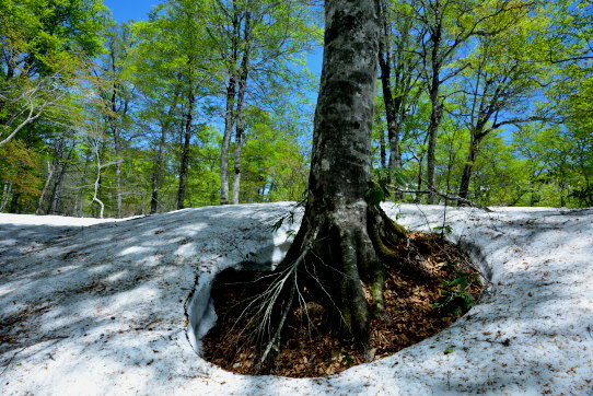 残雪とブナの木立