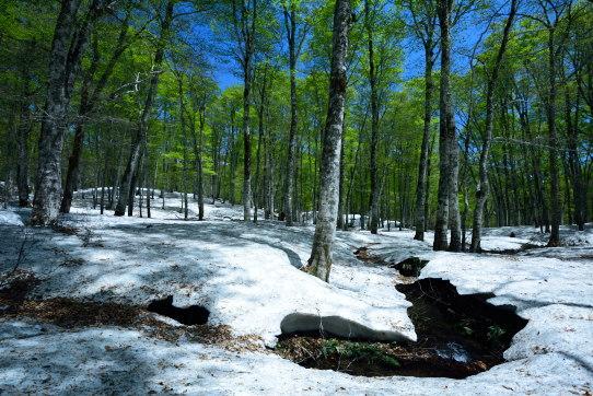 残雪と若葉の映えるブナの森