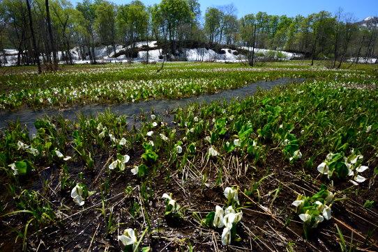 水芭蕉咲く今池湿原