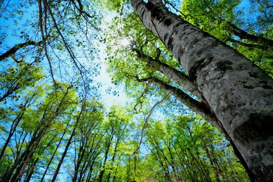 瑞々しい新緑まとうブナの森