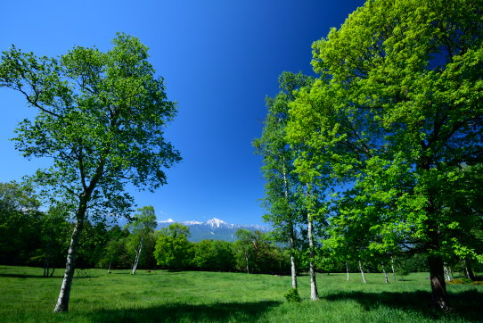 清里高原の若葉まとう樹間越しの甲斐駒ヶ岳