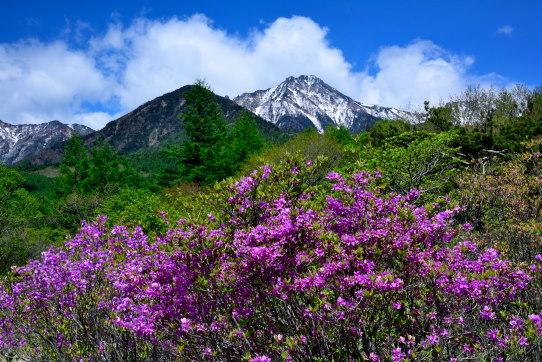 美しの森より三葉躑躅の花と赤岳