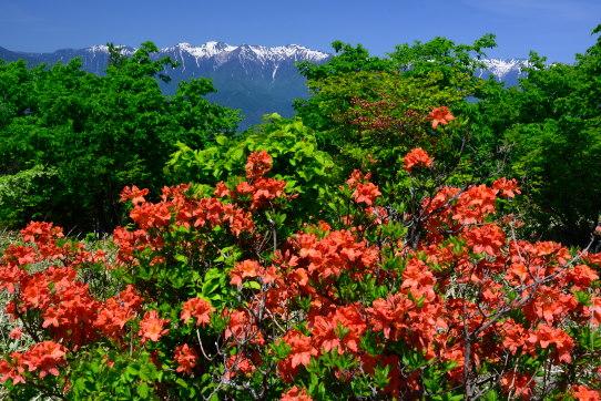 陣馬形山の山頂部のツツジと南駒ヶ岳と宝剣岳