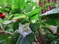 ツルリンドウの花