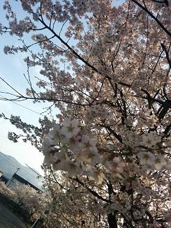150426手稲桜