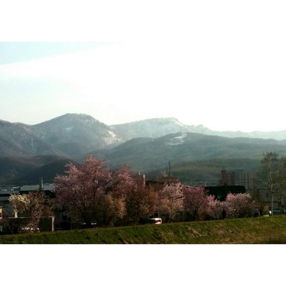 150426軽川桜