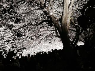 野川の夜桜2