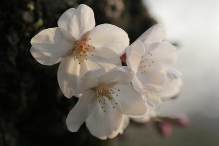 さきはじめ桜