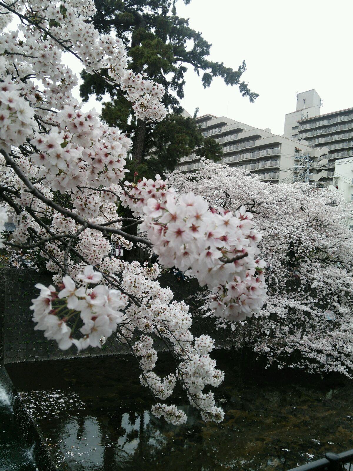 GOOD桜④
