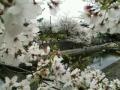 GOOD桜⑤